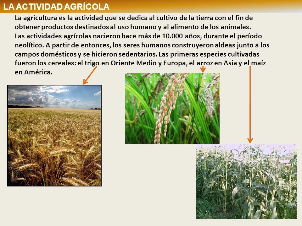 La agricultura es la actividad que se dedica al cultivo de la tierra con el fin de obtener productos destinados al uso humano y al alimento de los ani