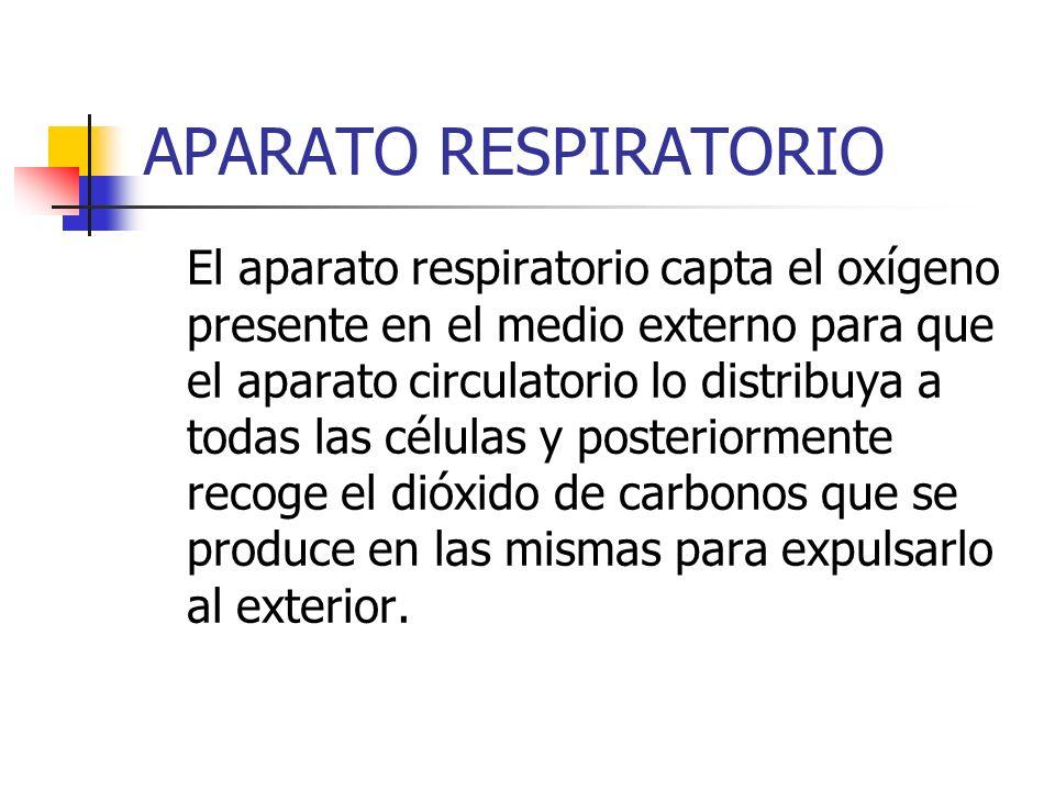 APARATO RESPIRATORIO El aparato respiratorio capta el oxígeno presente en el medio externo para que el aparato circulatorio lo distribuya a todas las
