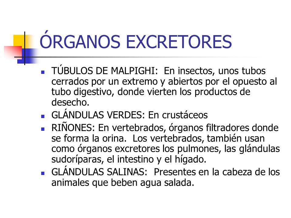 ÓRGANOS EXCRETORES TÚBULOS DE MALPIGHI: En insectos, unos tubos cerrados por un extremo y abiertos por el opuesto al tubo digestivo, donde vierten los