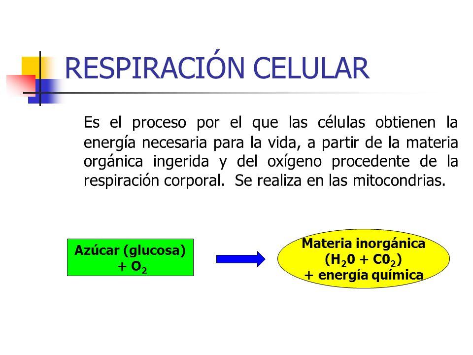 RESPIRACIÓN CELULAR Es el proceso por el que las células obtienen la energía necesaria para la vida, a partir de la materia orgánica ingerida y del ox