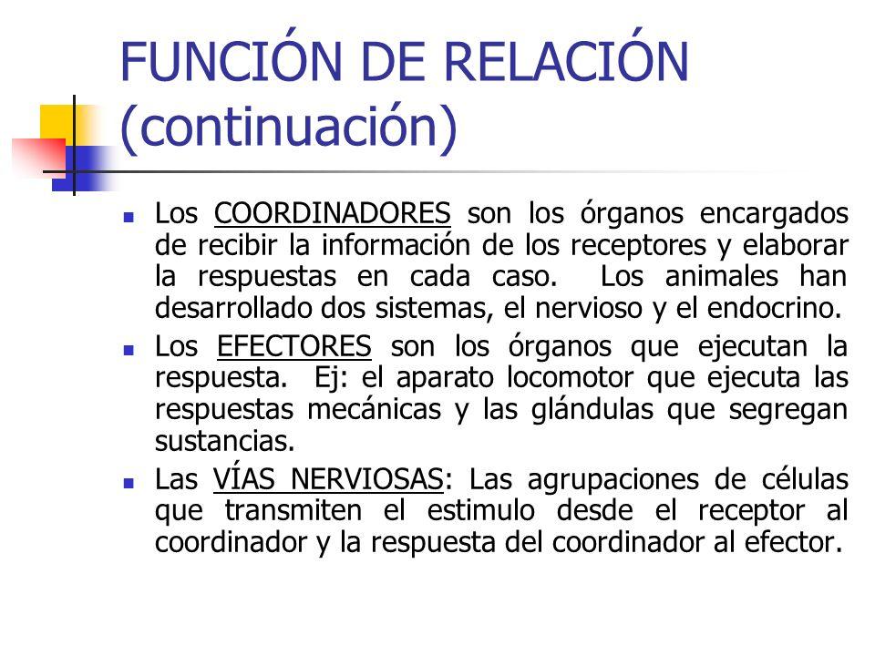 FUNCIÓN DE RELACIÓN (continuación) Los COORDINADORES son los órganos encargados de recibir la información de los receptores y elaborar la respuestas e