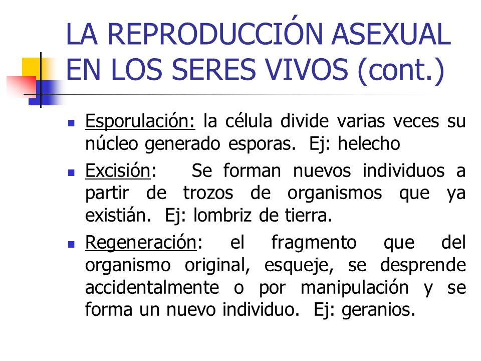 LA REPRODUCCIÓN ASEXUAL EN LOS SERES VIVOS (cont.) Esporulación: la célula divide varias veces su núcleo generado esporas. Ej: helecho Excisión: Se fo