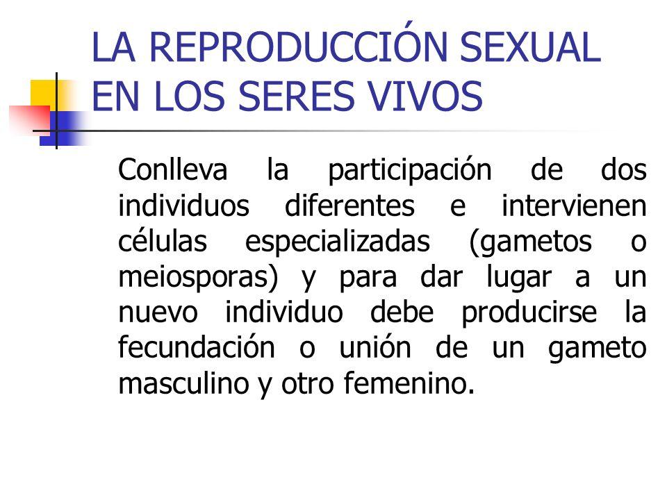 LA REPRODUCCIÓN SEXUAL EN LOS SERES VIVOS Conlleva la participación de dos individuos diferentes e intervienen células especializadas (gametos o meios