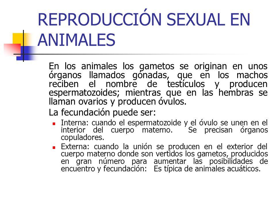 REPRODUCCIÓN SEXUAL EN ANIMALES En los animales los gametos se originan en unos órganos llamados gónadas, que en los machos reciben el nombre de testí