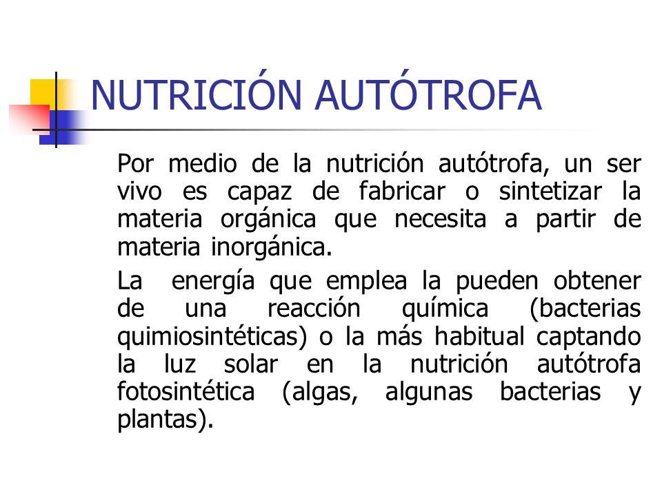 NUTRICIÓN AUTÓTROFA Por medio de la nutrición autótrofa, un ser vivo es capaz de fabricar o sintetizar la materia orgánica que necesita a partir de ma