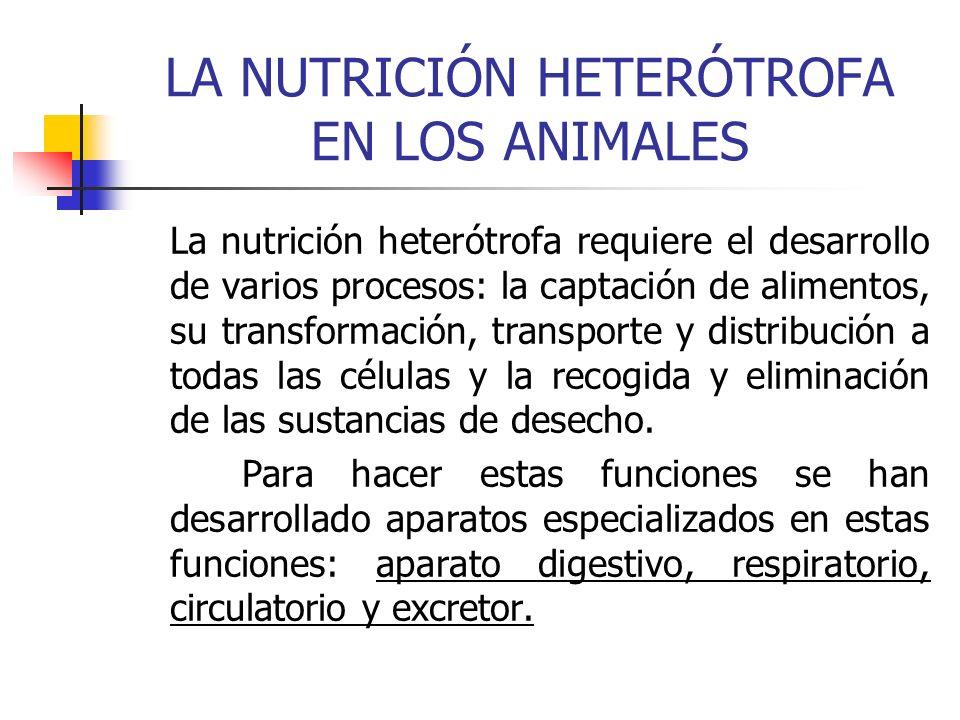LA NUTRICIÓN HETERÓTROFA EN LOS ANIMALES La nutrición heterótrofa requiere el desarrollo de varios procesos: la captación de alimentos, su transformac