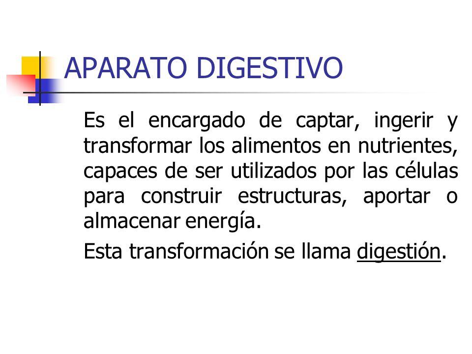 APARATO DIGESTIVO Es el encargado de captar, ingerir y transformar los alimentos en nutrientes, capaces de ser utilizados por las células para constru