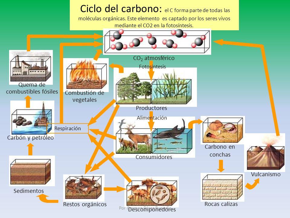 Ciclo del carbono: el C forma parte de todas las moléculas orgánicas. Este elemento es captado por los seres vivos mediante el CO2 en la fotosíntesis.