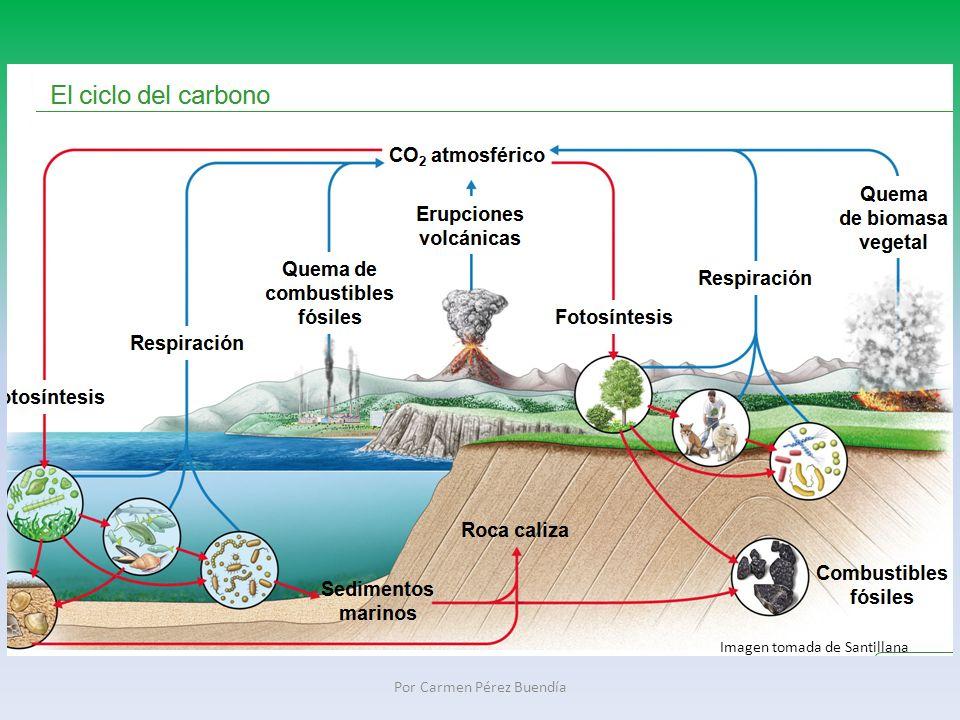 Ciclo del nitrógeno: N es un componente fundamental de las proteínas y ácidos nucleicos.