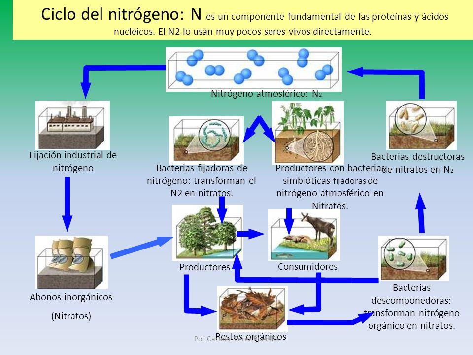 Ciclo del nitrógeno: N es un componente fundamental de las proteínas y ácidos nucleicos. El N2 lo usan muy pocos seres vivos directamente. Productores
