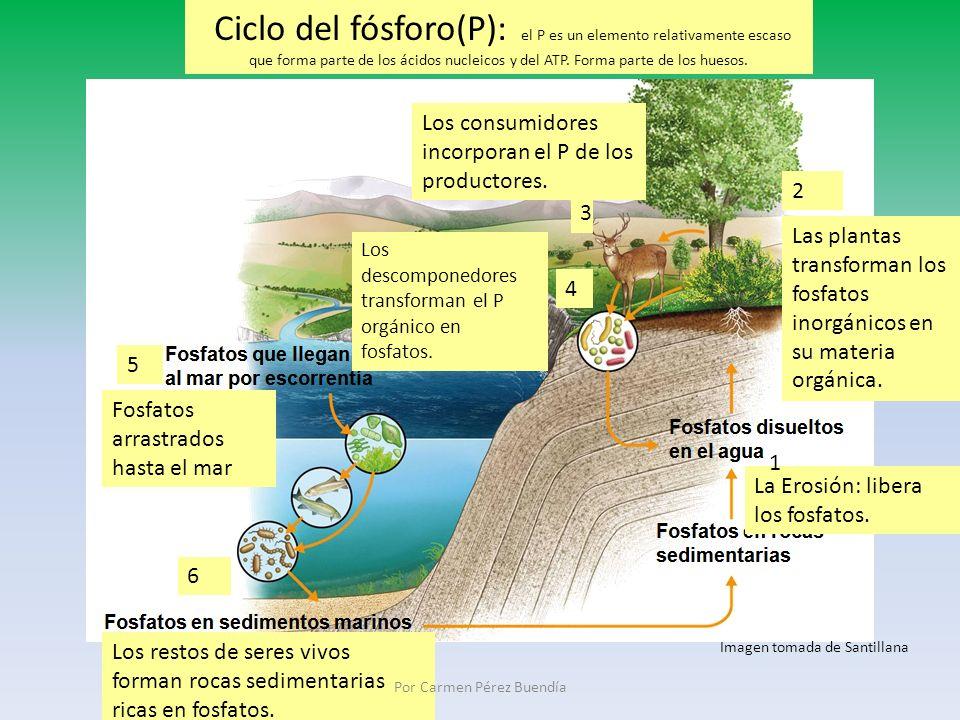 Ciclo del fósforo(P): el P es un elemento relativamente escaso que forma parte de los ácidos nucleicos y del ATP. Forma parte de los huesos. La Erosió