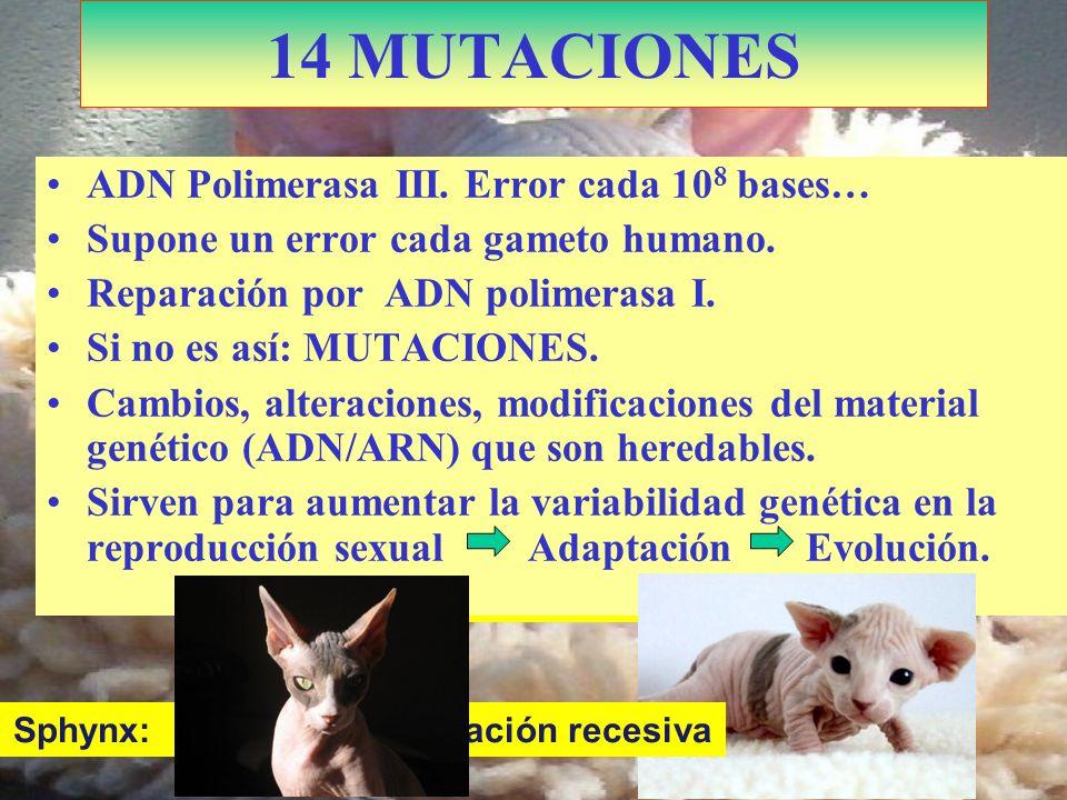 Kohona: Doble mutación 14 MUTACIONES ADN Polimerasa III. Error cada 10 8 bases… Supone un error cada gameto humano. Reparación por ADN polimerasa I. S