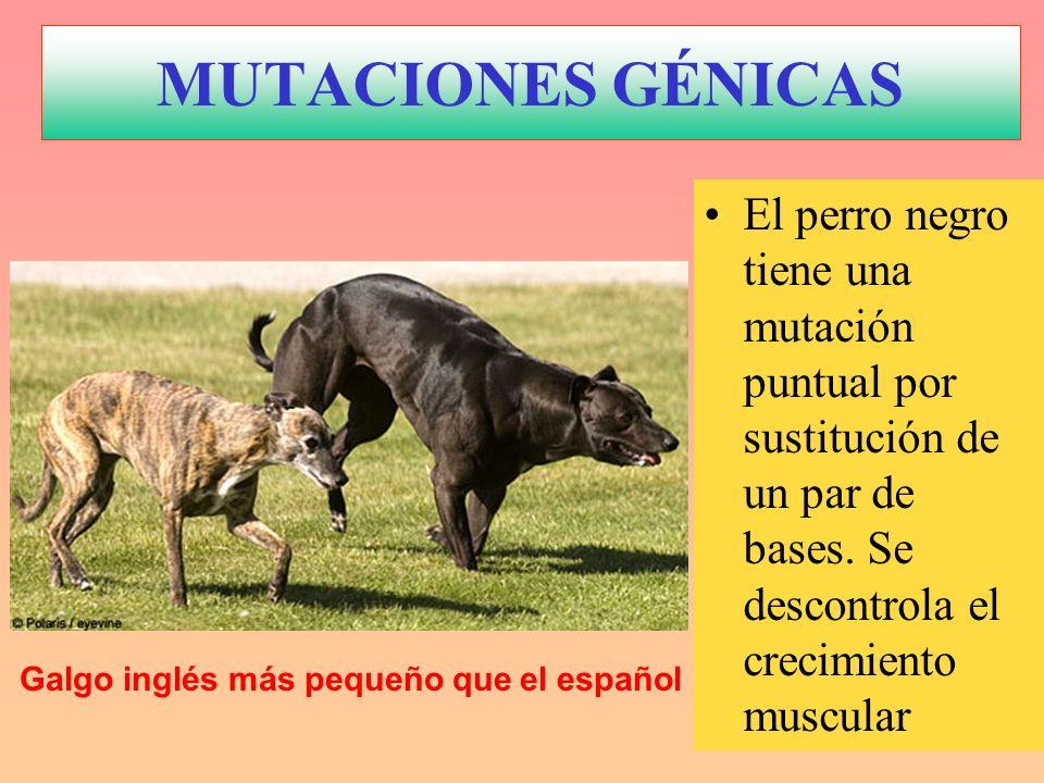 MUTACIONES GÉNICAS El perro negro tiene una mutación puntual por sustitución de un par de bases. Se descontrola el crecimiento muscular Galgo inglés m