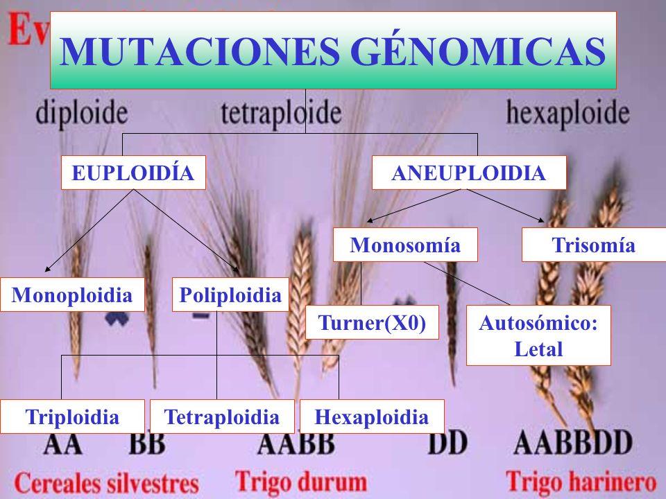 ANEUPLOIDIA PoliploidiaMonoploidia EUPLOIDÍA MUTACIONES GÉNOMICAS Turner(X0) TrisomíaMonosomía HexaploidiaTetraploidiaTriploidia Autosómico: Letal