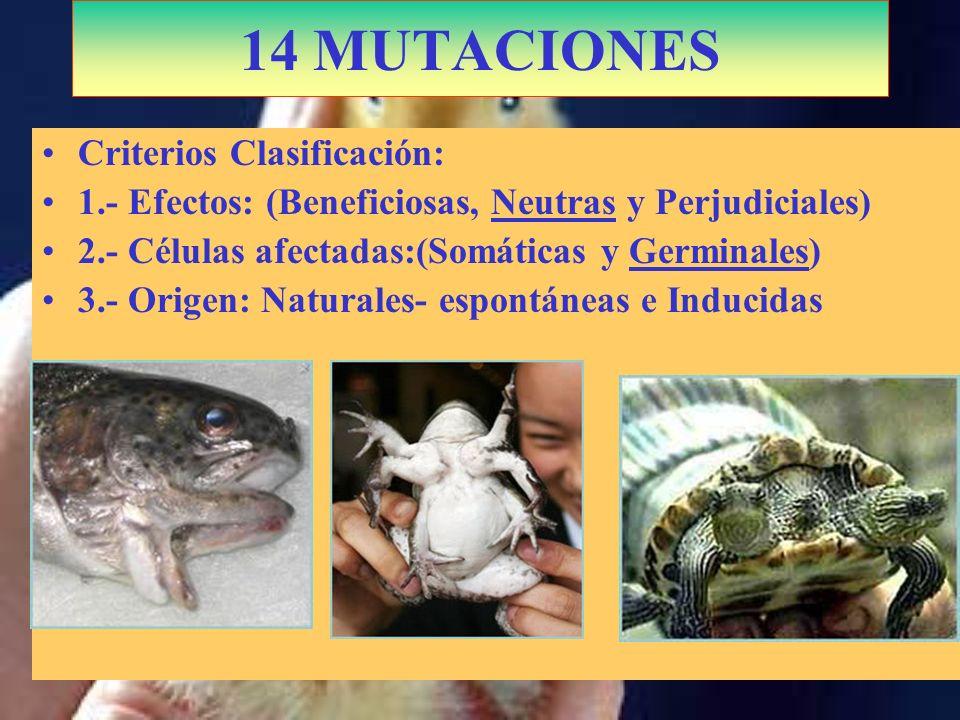 14 MUTACIONES Criterios Clasificación: 1.- Efectos: (Beneficiosas, Neutras y Perjudiciales) 2.- Células afectadas:(Somáticas y Germinales) 3.- Origen: