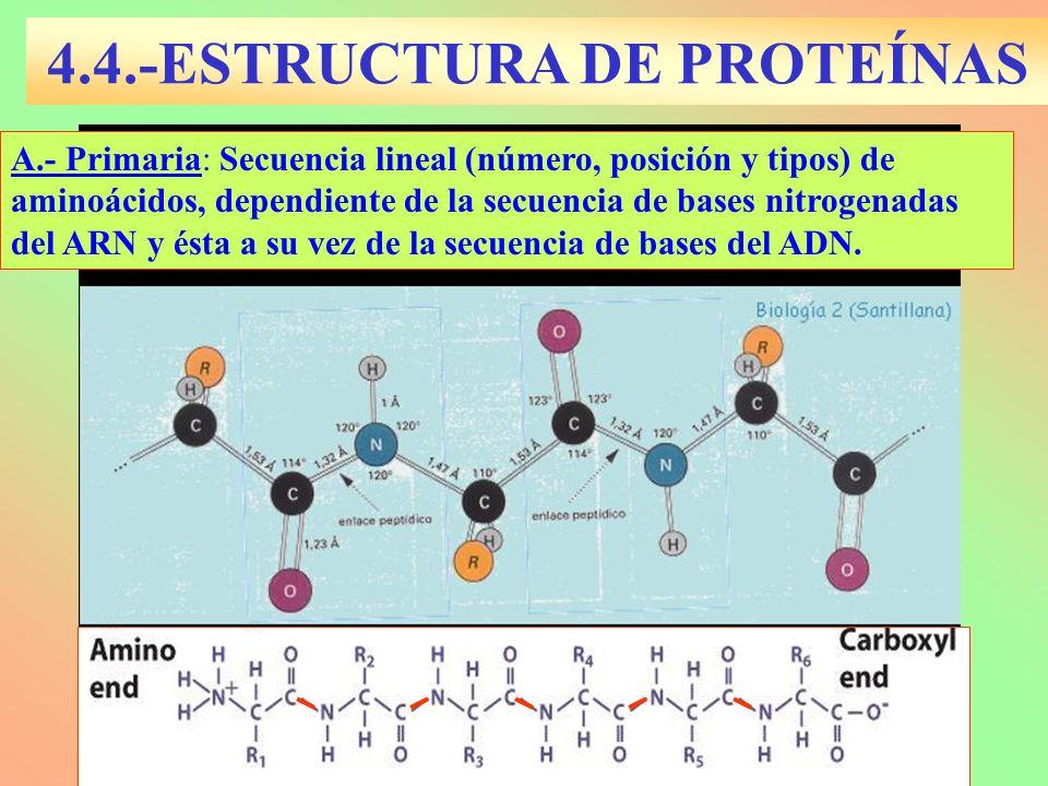 A.- Primaria: Secuencia lineal (número, posición y tipos) de aminoácidos, dependiente de la secuencia de bases nitrogenadas del ARN y ésta a su vez de