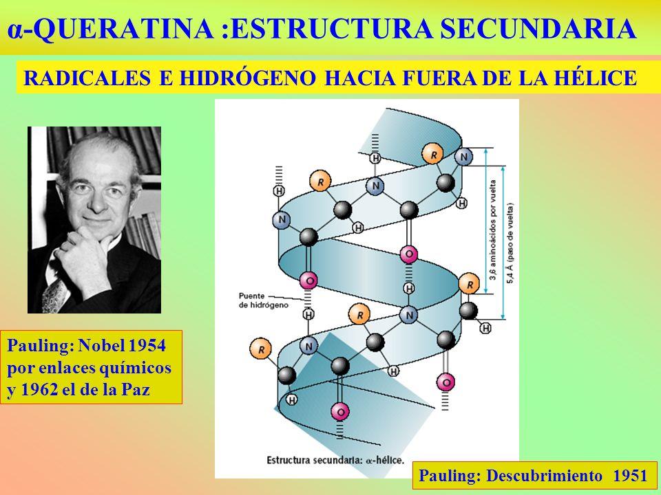 α-QUERATINA :ESTRUCTURA SECUNDARIA RADICALES E HIDRÓGENO HACIA FUERA DE LA HÉLICE Pauling: Nobel 1954 por enlaces químicos y 1962 el de la Paz Pauling