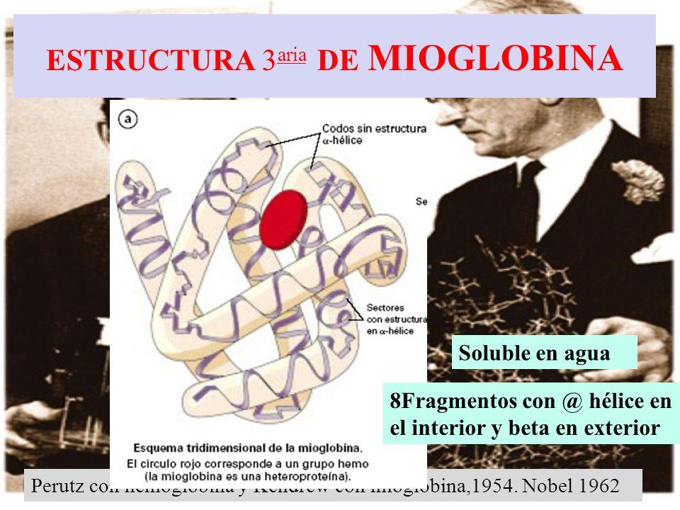 Perutz con hemoglobina y Kendrew con mioglobina,1954. Nobel 1962 ESTRUCTURA 3 aria DE MIOGLOBINA Soluble en agua 8Fragmentos con @ hélice en el interi