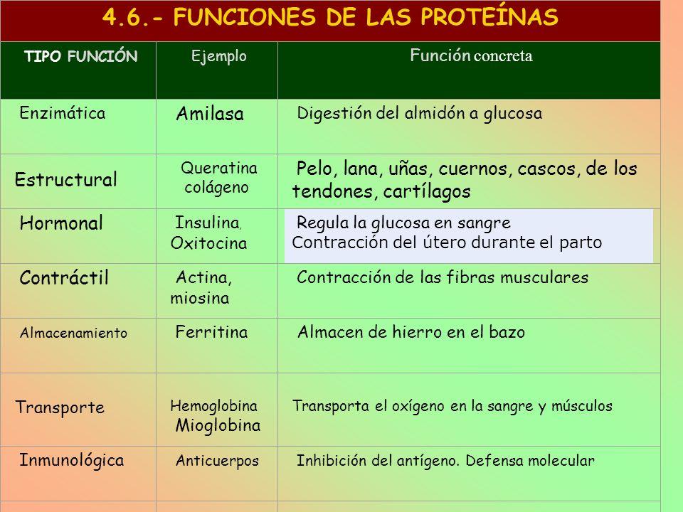 4.6.- FUNCIONES DE LAS PROTEÍNAS TIPO FUNCIÓN Ejemplo Función concreta Enzimática Amilasa Digestión del almidón a glucosa Estructural Q ueratina colág