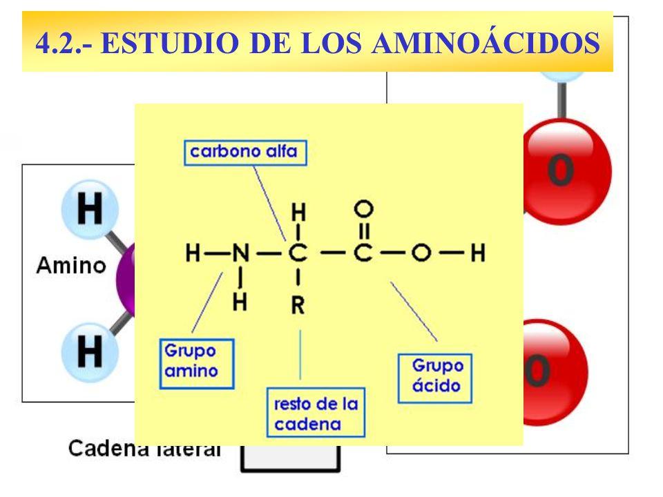 1.- Cα asimétrico (excepto en Glicina).Cada aa presenta dos enantiómeros: D y L.