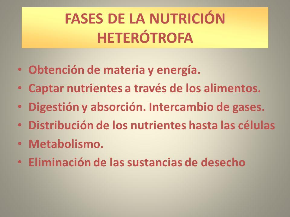 FASES DE LA NUTRICIÓN HETERÓTROFA Obtención de materia y energía. Captar nutrientes a través de los alimentos. Digestión y absorción. Intercambio de g