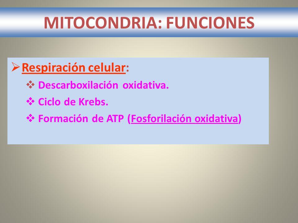 MITOCONDRIA: FUNCIONES Respiración celular: Descarboxilación oxidativa. Ciclo de Krebs. Formación de ATP (Fosforilación oxidativa)