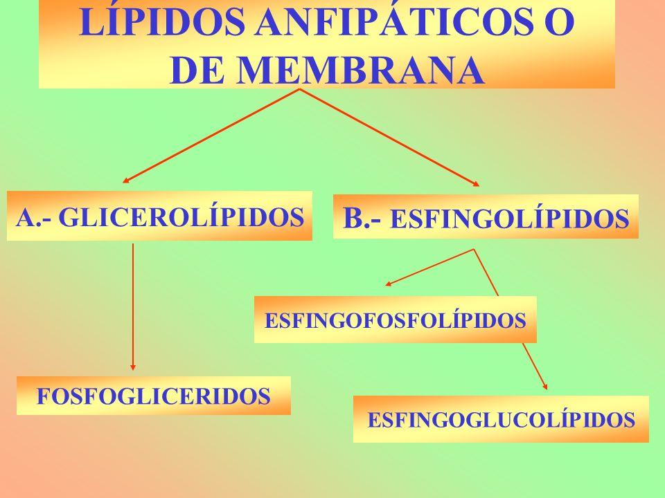 LÍPIDOS ANFIPÁTICOS O DE MEMBRANA A.- GLICEROLÍPIDOS B.- ESFINGOLÍPIDOS FOSFOGLICERIDOS ESFINGOFOSFOLÍPIDOS ESFINGOGLUCOLÍPIDOS