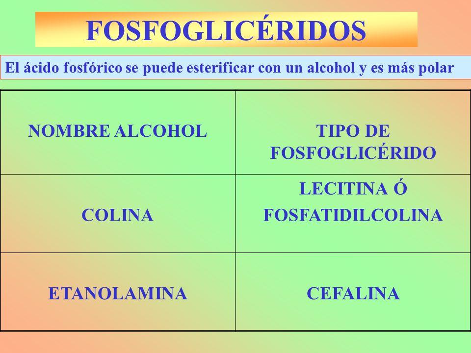 NOMBRE ALCOHOLTIPO DE FOSFOGLICÉRIDO COLINA LECITINA Ó FOSFATIDILCOLINA ETANOLAMINACEFALINA El ácido fosfórico se puede esterificar con un alcohol y e