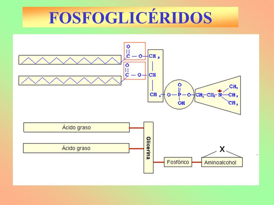 FOSFOGLICÉRIDOS