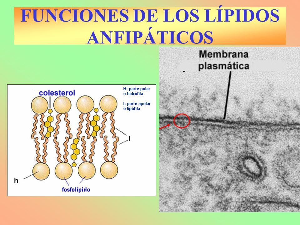 FUNCIONES DE LOS LÍPIDOS ANFIPÁTICOS
