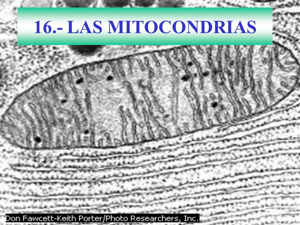 16.- LAS MITOCONDRIAS