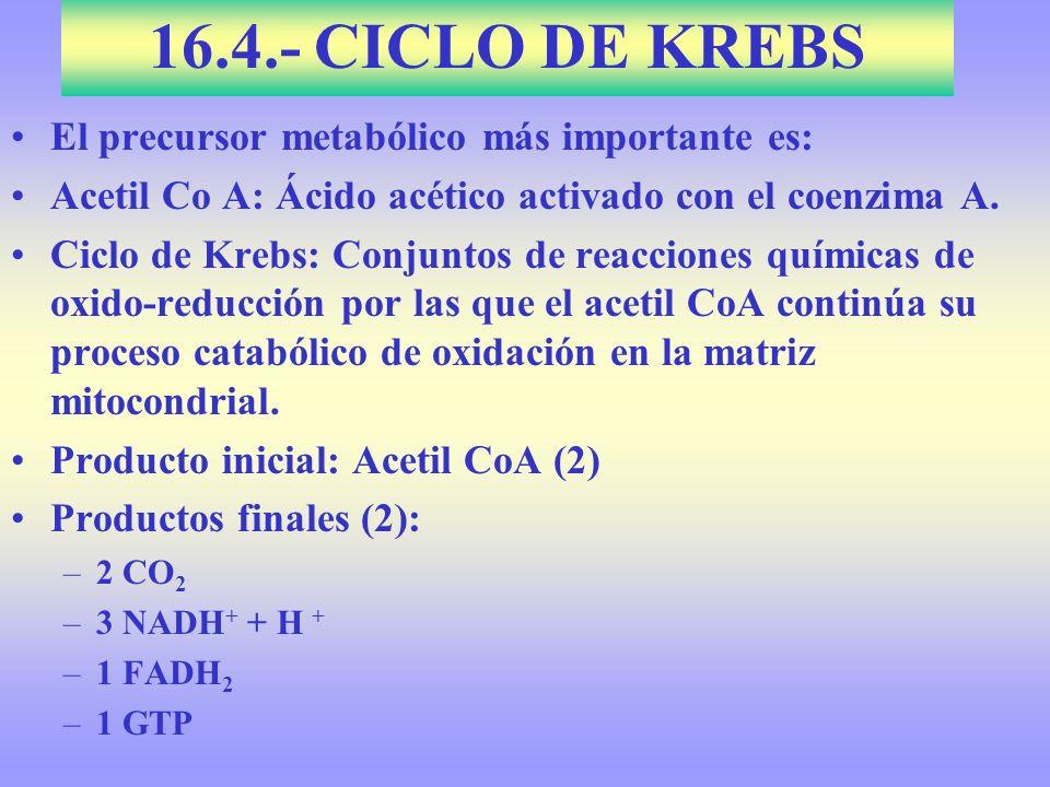 16.4.- CICLO DE KREBS El precursor metabólico más importante es: Acetil Co A: Ácido acético activado con el coenzima A. Ciclo de Krebs: Conjuntos de r