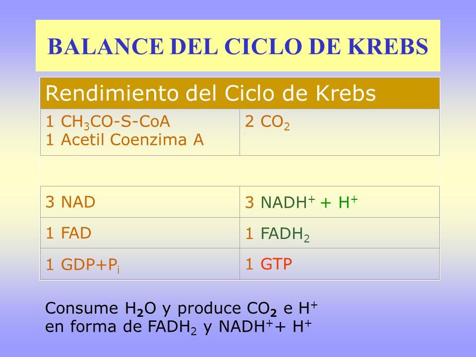 BALANCE DEL CICLO DE KREBS Rendimiento del Ciclo de Krebs 1 CH 3 CO-S-CoA 1 Acetil Coenzima A 2 CO 2. 3 NAD3 NADH + + H + 1 FAD1 FADH 2 1 GDP+P i 1 GT