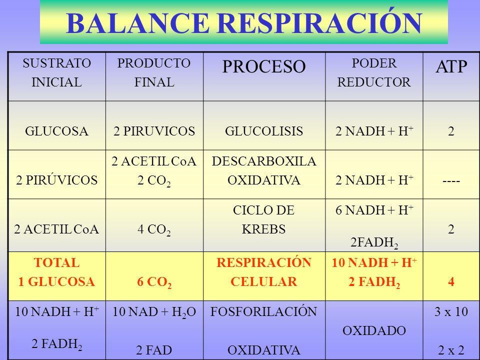 BALANCE RESPIRACIÓN SUSTRATO INICIAL PRODUCTO FINAL PROCESO PODER REDUCTOR ATP GLUCOSA2 PIRUVICOSGLUCOLISIS2 NADH + H + 2 2 PIRÚVICOS 2 ACETIL CoA 2 C