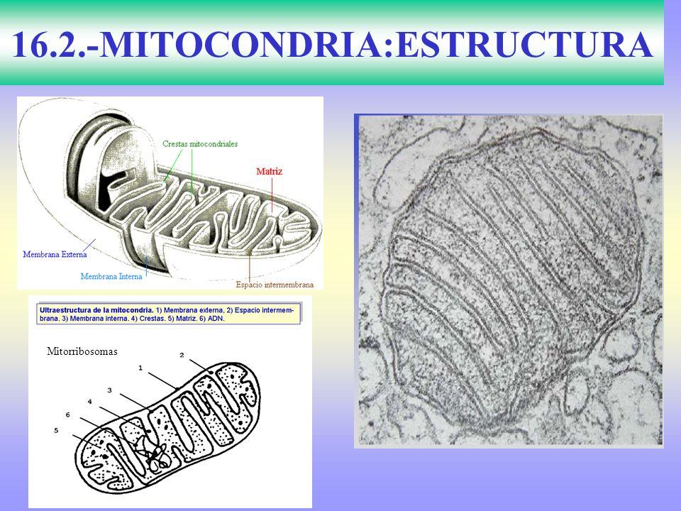 16.2.-MITOCONDRIA:ESTRUCTURA Mitorribosomas