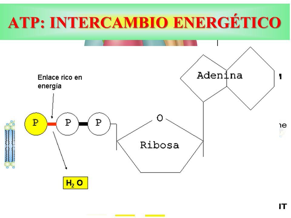 ATP: INTERCAMBIO ENERGÉTICO