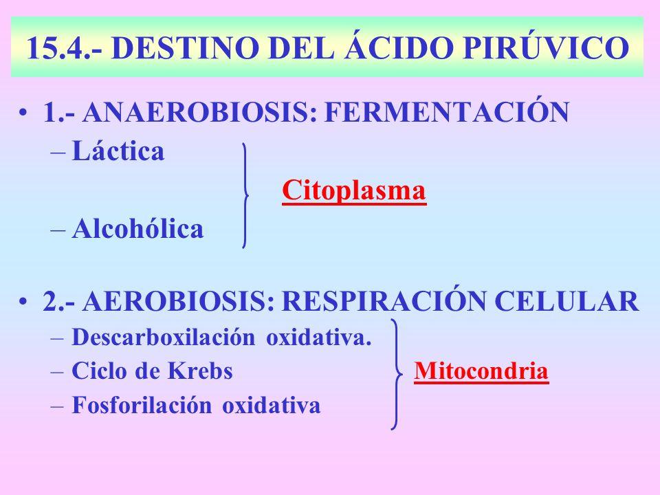 15.4.- DESTINO DEL ÁCIDO PIRÚVICO 1.- ANAEROBIOSIS: FERMENTACIÓN –Láctica Citoplasma –Alcohólica 2.- AEROBIOSIS: RESPIRACIÓN CELULAR –Descarboxilación