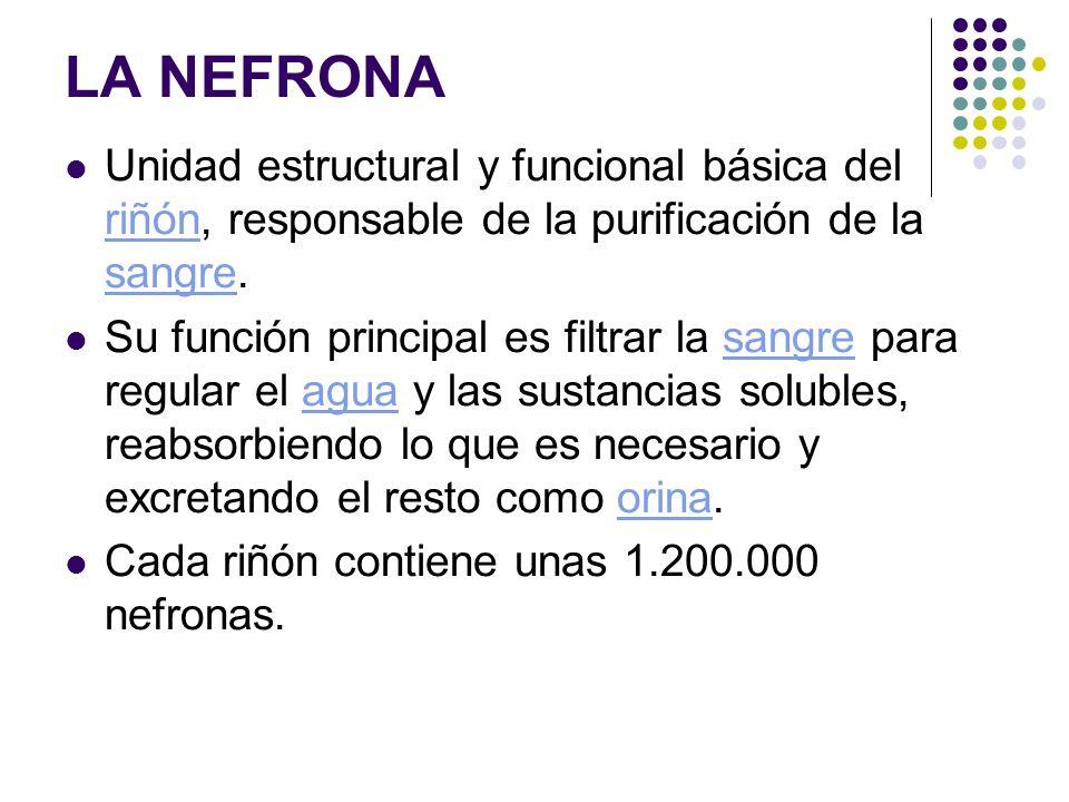 LA NEFRONA Unidad estructural y funcional básica del riñón, responsable de la purificación de la sangre.