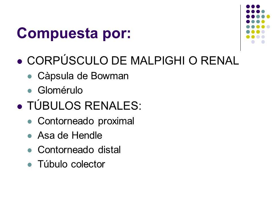 Compuesta por: CORPÚSCULO DE MALPIGHI O RENAL Càpsula de Bowman Glomérulo TÚBULOS RENALES: Contorneado proximal Asa de Hendle Contorneado distal Túbulo colector
