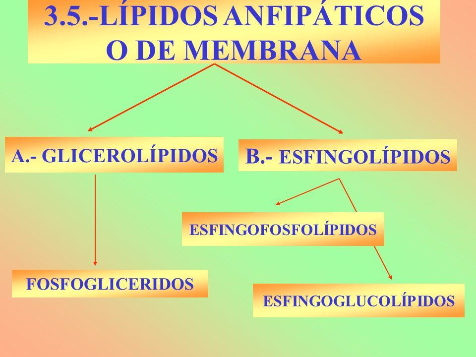 3.5.-LÍPIDOS ANFIPÁTICOS O DE MEMBRANA A.- GLICEROLÍPIDOS B.- ESFINGOLÍPIDOS FOSFOGLICERIDOS ESFINGOFOSFOLÍPIDOS ESFINGOGLUCOLÍPIDOS