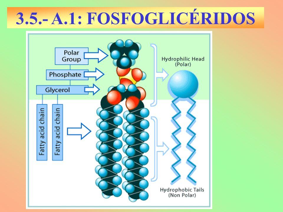3.5.- A.1: FOSFOGLICÉRIDOS