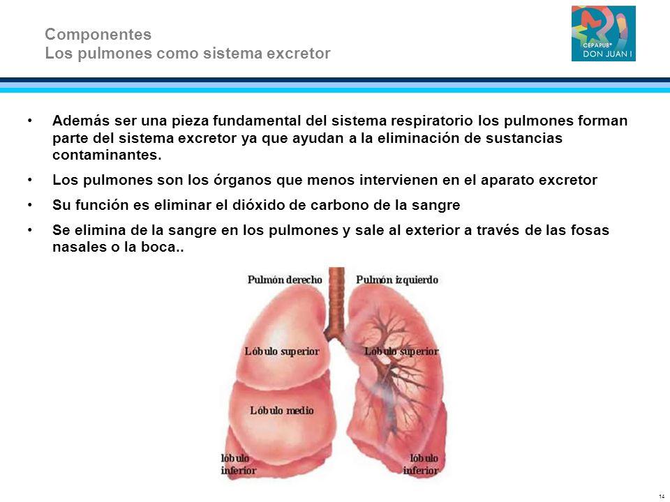 Además ser una pieza fundamental del sistema respiratorio los pulmones forman parte del sistema excretor ya que ayudan a la eliminación de sustancias