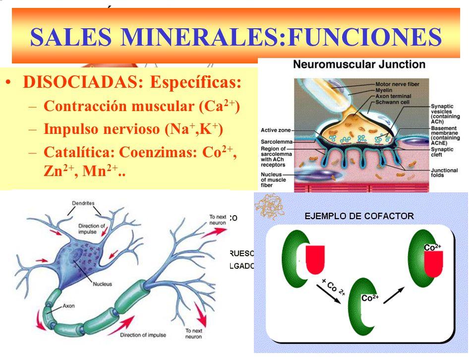 SALES MINERALES:FUNCIONES DISOCIADAS: Específicas: –Contracción muscular (Ca 2+ ) –Impulso nervioso (Na +,K + ) –Catalítica: Coenzimas: Co 2+, Zn 2+, Mn 2+..