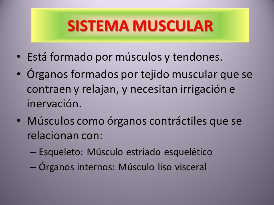 MÚSCULOS DEL BRAZO Biceps anterior y Triceps posterior: – Flexión y extensión Supinadores y Pronadores del antebrazo: – Giro de los antebrazos Flexores y extensores: – Flexionan o extienden los dedos