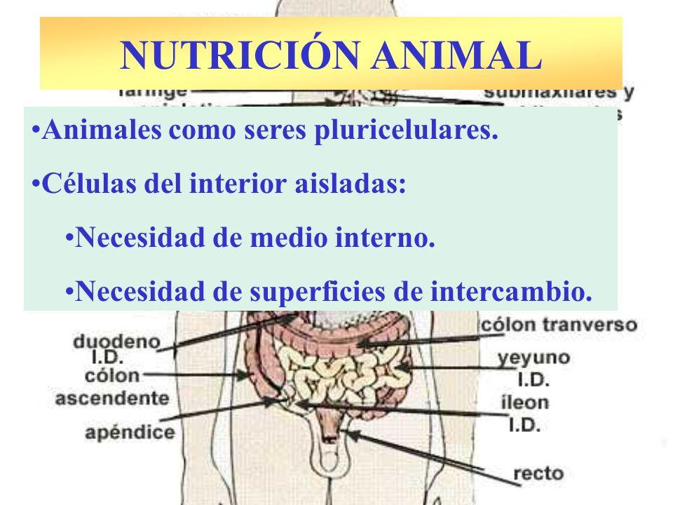 NUTRICIÓN ANIMAL Animales como seres pluricelulares. Células del interior aisladas: Necesidad de medio interno. Necesidad de superficies de intercambi