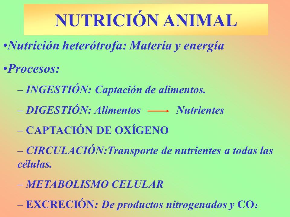 Nutrición heterótrofa: Materia y energía Procesos: – INGESTIÓN: Captación de alimentos. – DIGESTIÓN: Alimentos Nutrientes – CAPTACIÓN DE OXÍGENO – CIR