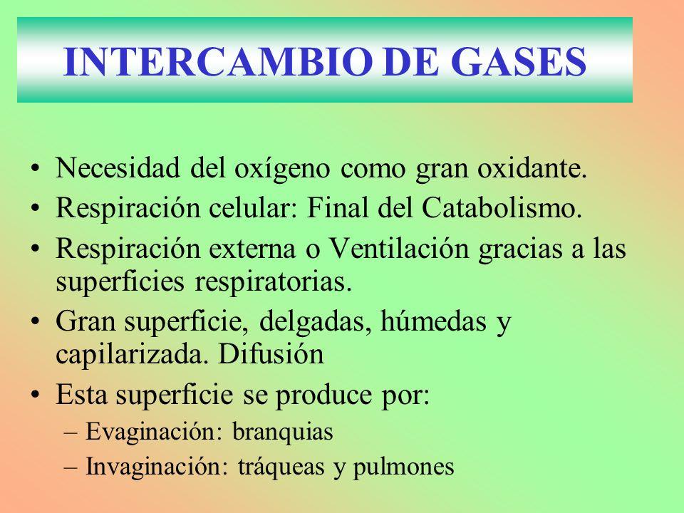INTERCAMBIO DE GASES Necesidad del oxígeno como gran oxidante. Respiración celular: Final del Catabolismo. Respiración externa o Ventilación gracias a