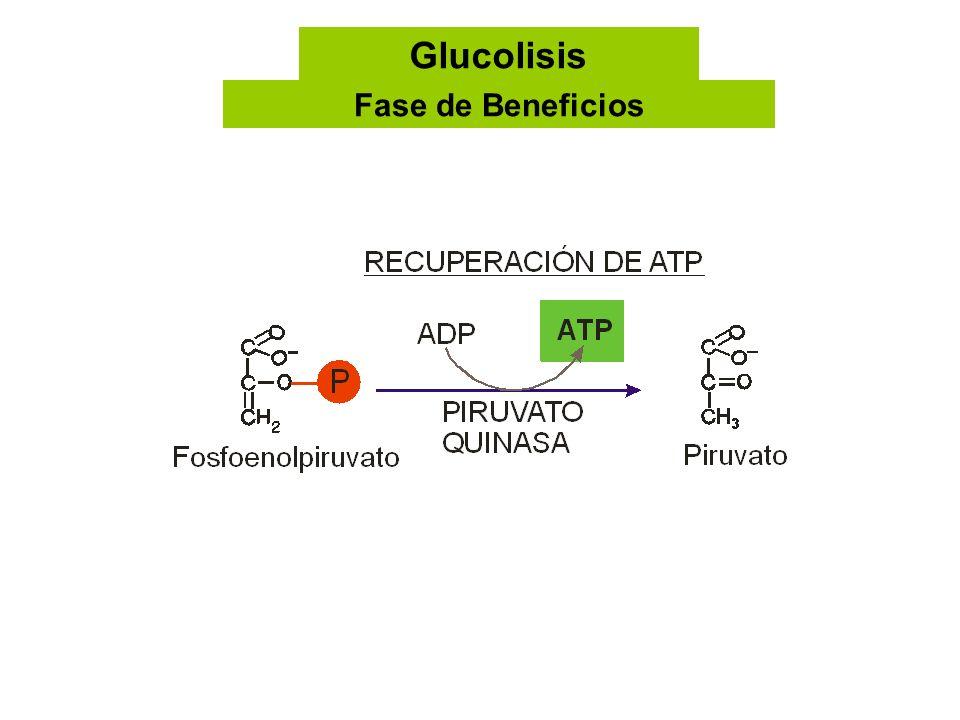 Glucolisis Fase de Beneficios