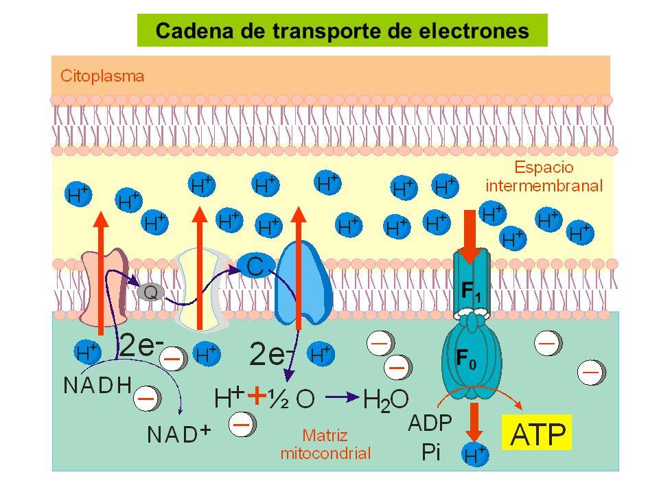 Cadena de transporte de electrones F1F1 F0F0