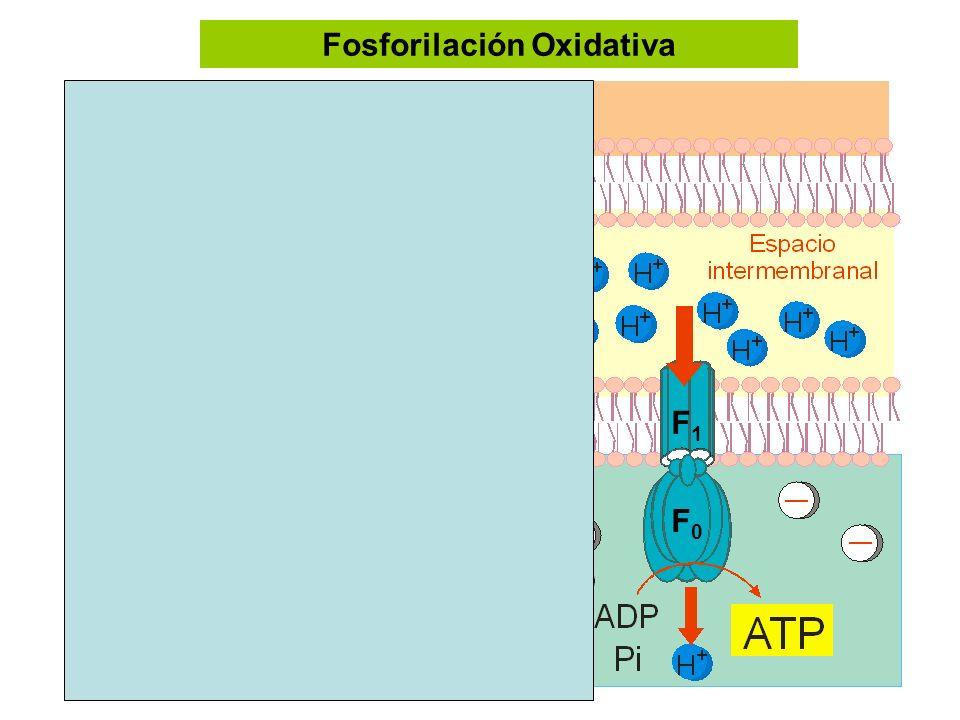 Fosforilación Oxidativa F1F1 F0F0